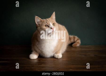 Un portrait d'un chat rouge ou gingembre et blanc tabby assis sur une table en bois sur un fond vert regardant avec le cadre lumineux de Rembrandt