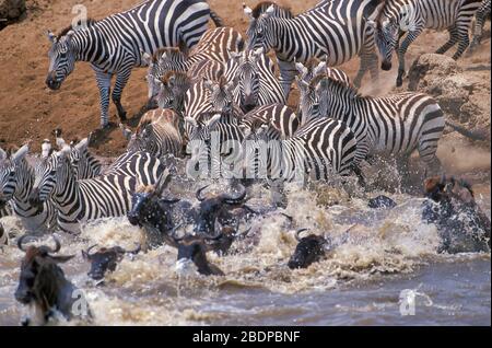 Plaines ou ZEBRA commune, Equus quagga, anciennement Equus burchellii, et Wildebeeste ou GNU, Connochaetes taurinus, migration traversant la rivière, Masai Mara, Banque D'Images