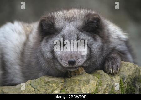 Renard polaire ou renard arctique, Vulpes lagopus, Alopex lagopus