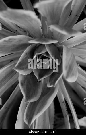 Photo en noir et blanc de succulentes. Banque D'Images
