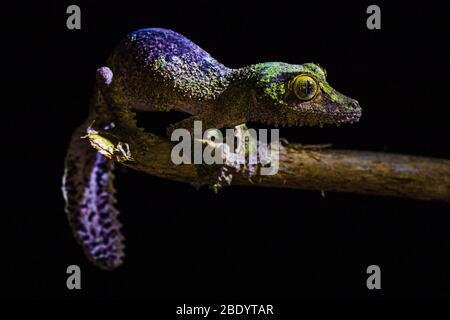 Gecko feuilles mossy (Uroplatus Sikorae), Madagascar Banque D'Images