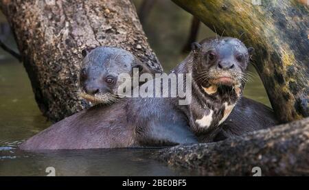 Couple de loutre géante (Pteronura brasiliensis) dans la rivière Cuiaba, Porto Jofre, Mato Grosso, Brésil