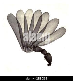 Antenne de cafard (Melolontha), appelée colloque mai bug ou doodlebug. C'est un coléoptère européen du genre Melolontha, dans la famille des Scarabaeidae. Agrandissement : 15 fois. Photomicrograph réalisé par Arthur E Smith au début des années 1900, à l'aide d'un microscope et d'une caméra combinés. En 1904, la Royal Society de Londres expose au public une série de photomicrographes de Smith. Ils ont été publiés en 1909 dans un livre intitulé « nature through Microscope & Camera ». Ils étaient les premiers exemples de photomicroscopie que beaucoup avaient jamais vu.