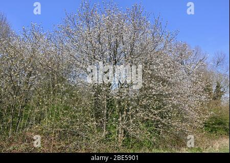 Arbres en fleurs. Racines Cray Meadows, Sidcup, Kent. ROYAUME-UNI