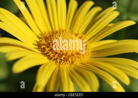 Image de gros plan extrême de la belle fleur jaune de Doronicum orientale 'Magnificum'. Une plante de jardin à fleurs printanières populaire.