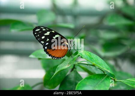 Magnifique papillon rouge-noir sur une branche verte