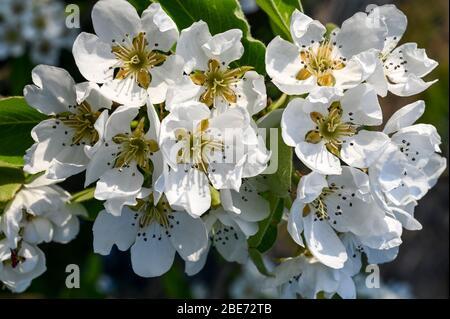 Fleurs blanches des oreilles de conférence lors d'une journée de printemps ensoleillée. Banque D'Images