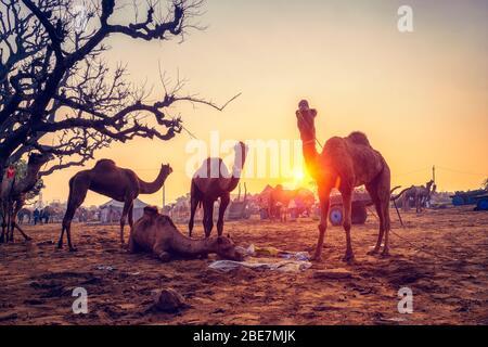 Fête de la foire de chameaux Pushkar mela dans le domaine manger à mâcher au coucher du soleil. Pushkar, Rajasthan, Inde Banque D'Images