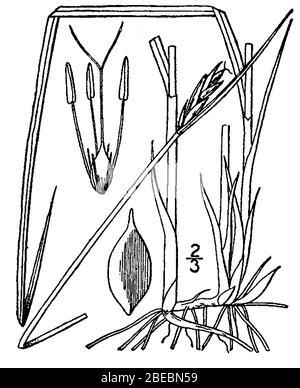 'Blysmus rufus; http://plants.usda.gov/java/largeImage?imageID=scru2 001 avd.tif; Britton, N.L., et A. Brown. 1913. Une flore illustrée du nord des États-Unis, du Canada et des possessions britanniques. Vol. 1: 332.; '