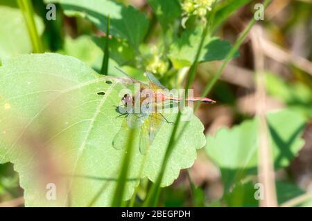 Ruby Meadowhawk Dragonfly (Sympitum rubicolum) perchée sur une feuille dans l'est du Colorado
