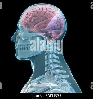 Squelette humain et cerveau, œuvre d'art Banque D'Images