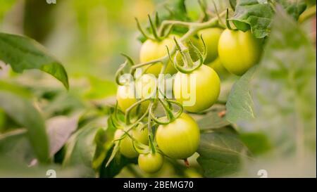 tomates vertes qui poussent dans la serre. tomates non mûres accrochées sur une branche. agriculture biologique. première récolte de la vigne mûre dans un jardin. Horticultur Banque D'Images