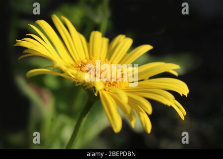 Côté sur l'image rapprochée de la belle fleur jaune de Doronicum orientale 'Magnificum'. Une plante de jardin à fleurs printanières populaire.