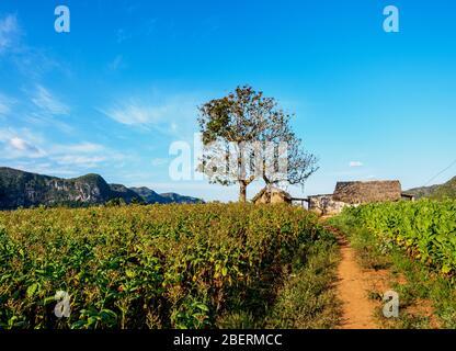 Plantation de tabac dans la vallée de Vinales, site classé au patrimoine mondial de l'UNESCO, province de Pinar del Rio, Cuba