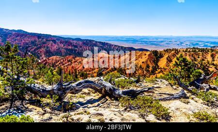 Randonnée dans le paysage semi-désert et les montagnes avec des arbres morts sur la piste Cassidy et Rich Trail dans le parc national de Red Canyon dans l'Utah, aux États-Unis Banque D'Images