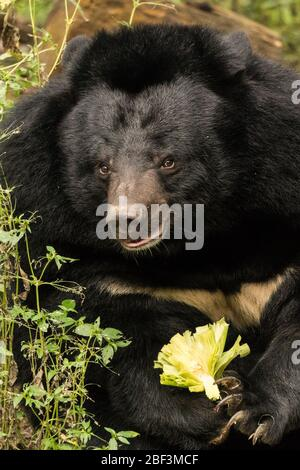 Moon Bears au Tat Kuang si Bear Rescue Center, Luang Prabang, Laos Banque D'Images