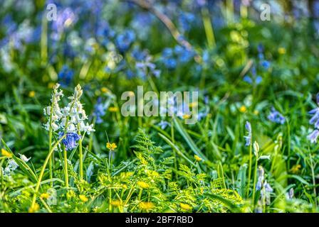 Fleurs blanches et bleues dans un bois de bluebell, Upper wield, Alresford, Hampshire, Royaume-Uni