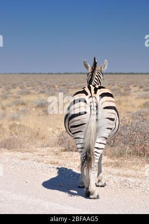 L'unique zèbre de Burchell, photographie du dos dans le parc national d'Etosha, Namibie, Afrique australe Banque D'Images