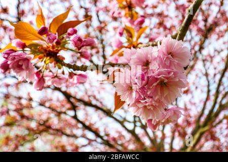 Gros plan de la cerisier (Sakura) sur un cerisier japonais (Prunus serrulata). Dans la culture japonaise, la fleur de printemps est célébrée comme Hanami.