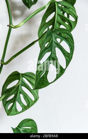 Gros plan sur la vigne suspendue de la plante de fromage suisse (monstera adansonii) avec fenestras dans les feuilles sur fond blanc. Belle maison deta