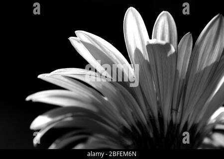 Vue arrière d'un Baberton Daisy rétroéclairé (Gerbera Jamesoni) en monochrome, avec un fond noir Banque D'Images