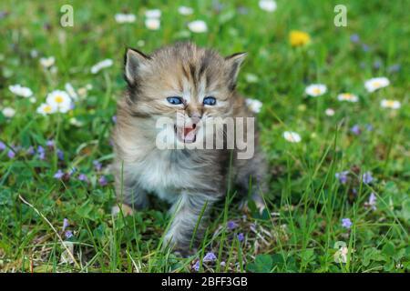 Le portrait d'un jeune chaton de trois semaines dans l'herbe et les fleurs. Joli et heureux avec l'expression drôle tout en regardant la viande.