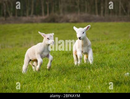 Jeunes agneaux jouant sur le terrain, Royaume-Uni Banque D'Images