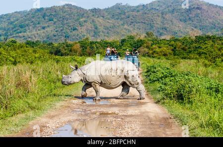 Un rhinocéros indien (Rhinoceros unicornis) traverse une route devant les jeeps avec des touristes dans le parc national de Kaziranga, Assam, dans le nord-est de l'Inde