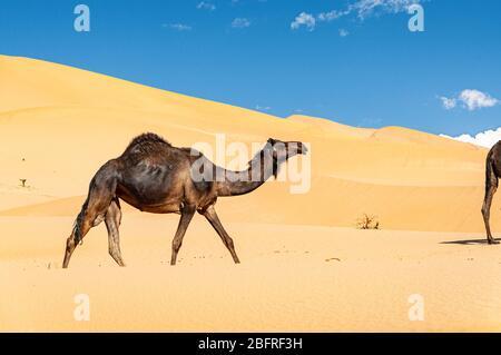 Groupe de dromadaires dans le magnifique désert d'Omani RUB al-Chali Banque D'Images