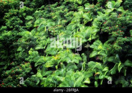 La forêt dense de palmiers et les arbres de tulipes africains en fleurs poussent dans les nombreuses gorges le long de la côte Hamakua sur la Grande île d'Hawaï.
