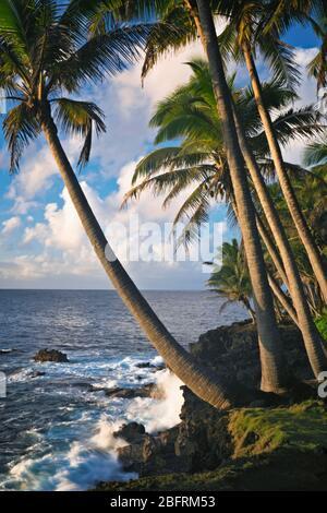 Lumière magique du matin le long de la côte de Puna bordée de palmiers sur la Grande île d'Hawaï.