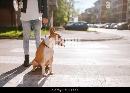 Belle race de chien American Staffordshire Terrier avec une fille caucasienne dans la rue