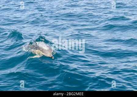 Le dauphin commun unique (Delphinus delphis) surfait dans la baie des îles, en Nouvelle-Zélande