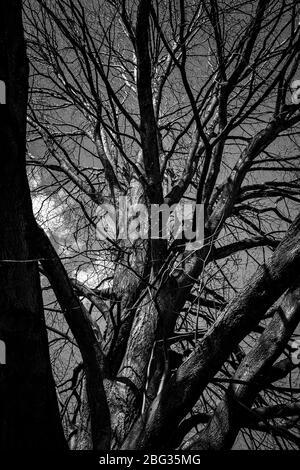 Recherche d'un arbre sans feuilles en noir et blanc Banque D'Images