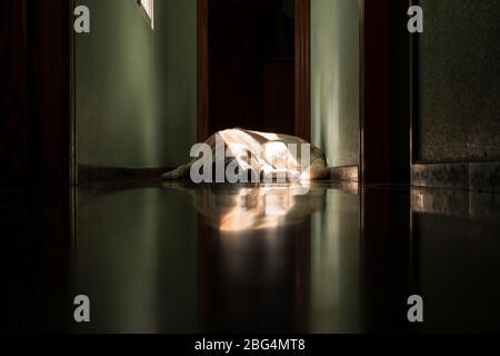 Chien du Labrador couché au soleil à la maison Banque D'Images