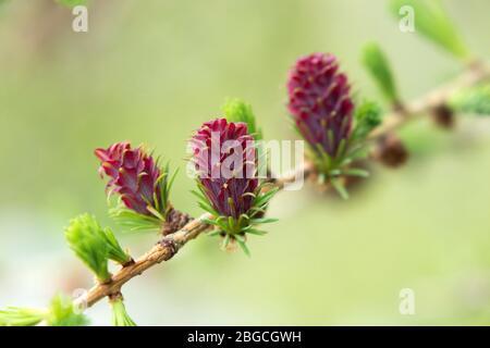 Les fleurs féminines du Larch Tree Larix decidua, Royaume-Uni. Les fleurs violettes se développent dans les cônes à mesure qu'elles mûrent.