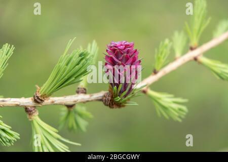 La fleur féminine de l'arbre Larch européen Larix decidua, Royaume-Uni. Les fleurs violettes se développent dans les cônes à mesure qu'elles mûrent.