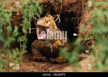 Un iguana de terre de Galapagos part de la terrier pour effrayer les prédateurs