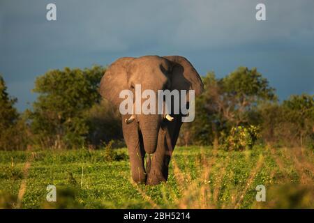 Éléphant d'Afrique (Loxodonta africana), région de Savuti, Parc national de Chobe, Botswana, Afrique