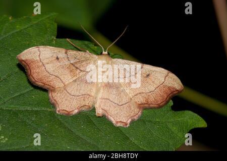 Papillon brun de taille moyenne, assis sur la feuille, Bavière, Allemagne Banque D'Images