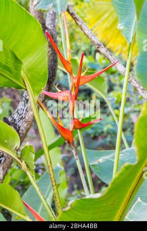 Heliconia flower, (Heliconia latispatha), parc, terminal de croisière de Amber Cove, port, Maimón, République dominicaine, grandes Antilles, Caraïbes, Océan Atlantique, Amérique centrale Banque D'Images