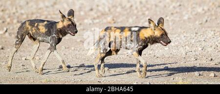 Gros plan de deux chiens sauvages africains (Lycaon pictus), zone de conservation de Ngorongoro, Tanzanie Banque D'Images