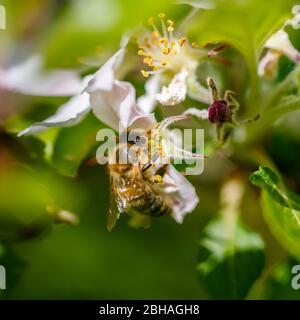 Minibeast: Une abeille de miel, API mellifera, la collecte du nectar et du pollen des étamines de fleurs blanches de pommier au printemps, Surrey