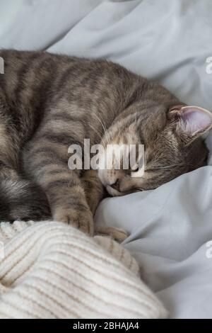 Mignon petit chaton britannique à imprimé tabby gris cortillé dans une couette chaude endormie, portant un foulard d'hiver tricoté