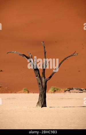 Arbre mort (âge de 900 ans) et dunes de sable à Deadvlei, près de Sossusvlei, parc national du Namib-Naukluft, Namibie, Afrique