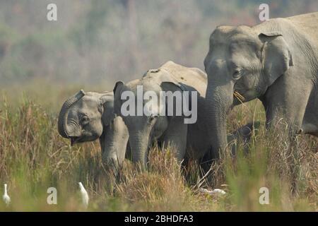 Éléphant d'Asie (Elephas maxima), vaches et juvéniles