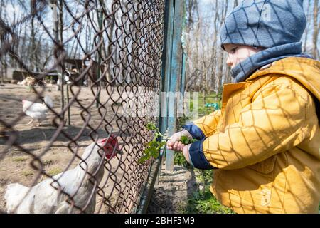 Un petit garçon alimente les poulets à travers la grille dans le jardin du printemps