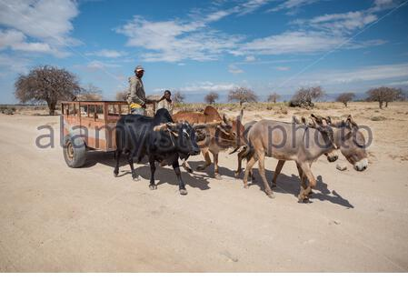 Barazani / Tanzanie - 1 décembre 2016: Deux hommes africains guident un chariot à ânes et deux vaches dans la savane Banque D'Images