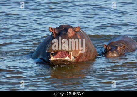 Hippopotamus (Hippopotamus amphibius), rivière Zambèze, près des chutes Victoria, Zimbabwe, Afrique