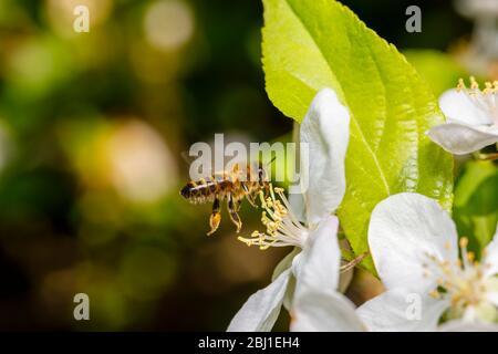 Une abeille au miel, APIS mellifera, en vol, recueillant le nectar et le pollen des étamines de fleurs blanches de pommiers au printemps, Surrey, sud-est de l'Angleterre